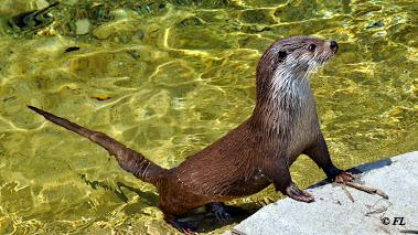 Loutre Europe