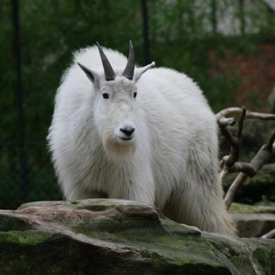 Chèvre des Rocheuses