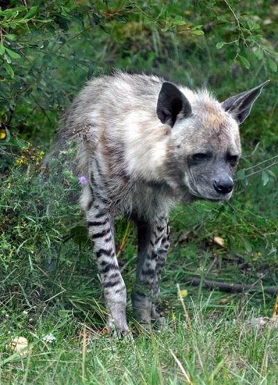 Hyène Rayée