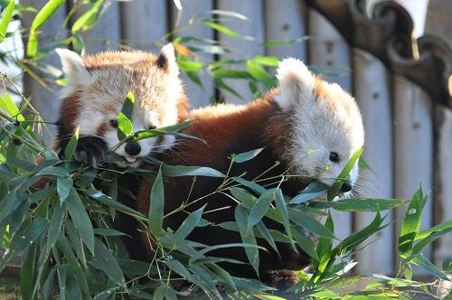 Pandas Roux