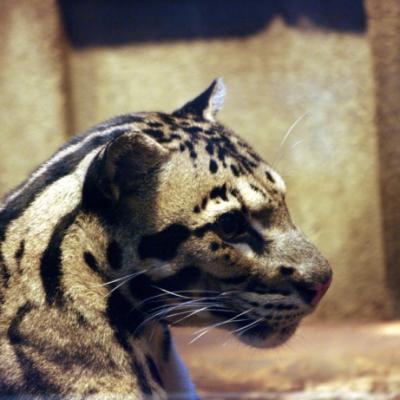 Panthere Longibande