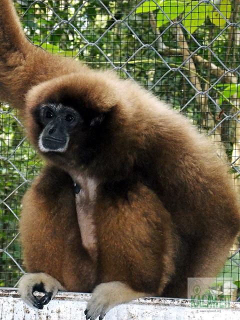 Gibbon jona