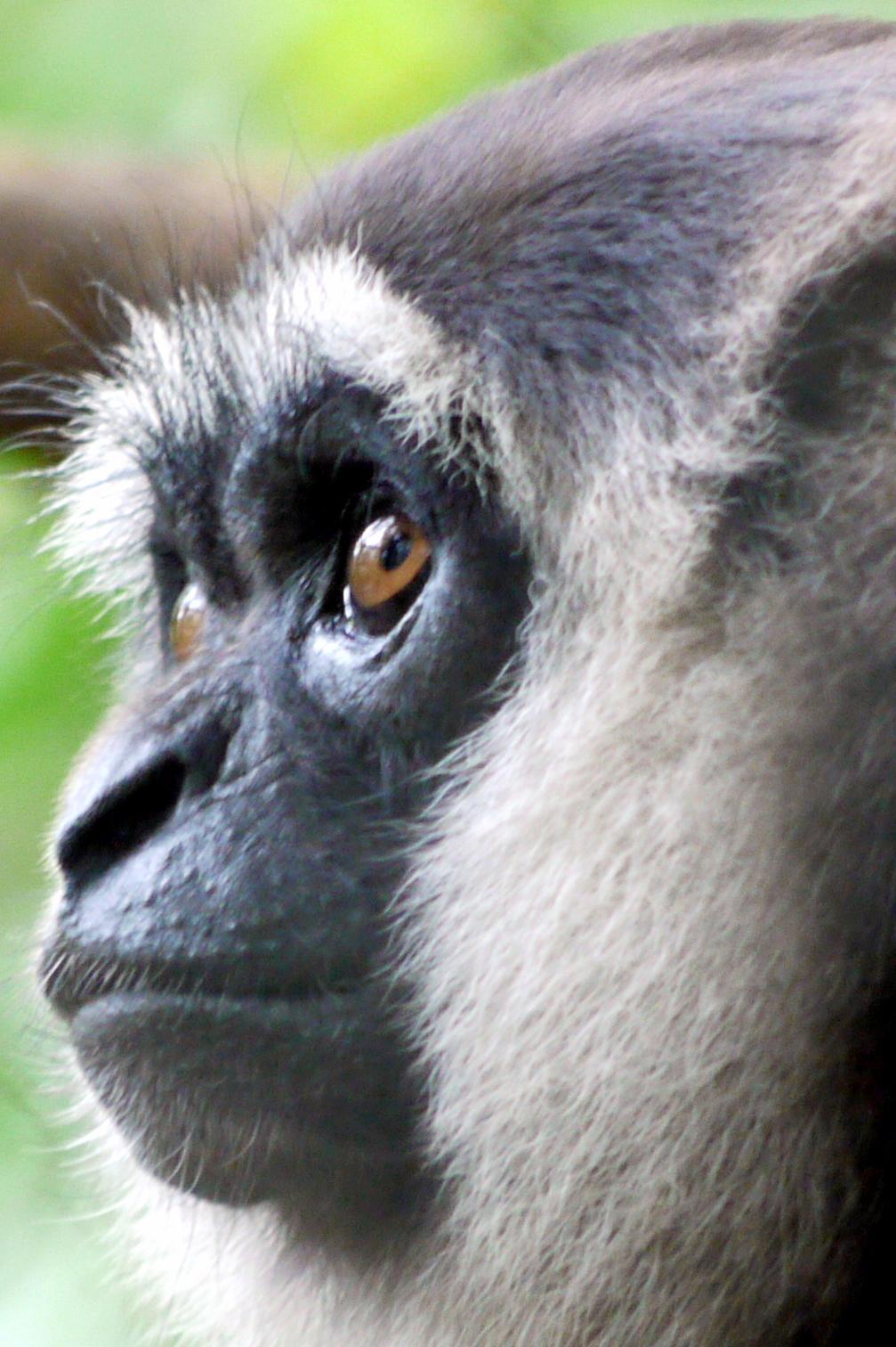 Gibbon nyoi nyoi